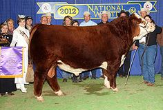 Denver Grand Champion herford bull 2012 this baby lives in my small honetown breeding it with my heifer next year :) Heifer Cow, Show Steers, Show Cattle, Cute Cows, Hereford, Daughter Of God, Farm Life, Denver, Brazil