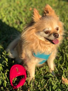 Is Your Pomeranian Driving You Crazy? One Unusual Trick STOPS Your Pomeranian Jumping Up! Free Dogs, Crazy Dog, Pomeranian, Animal Photography, Dogs And Puppies, Dog Lovers, Pets, Training, Animals