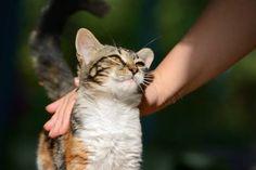 Los gatos sonanimales felinos, esto quiere decir que nuestro gato no es un animal doméstico. Descubre cómo adaptan su comportamiento al de los humanos