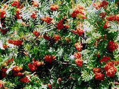 Serbal -Las especies de Sorbus son usadas como alimento por larvas de algunas especies de lepidópteros.