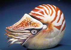 Cindy Billingsley |   Chambered Nautilus