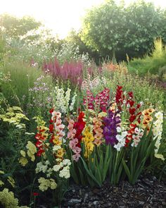 The word gladiolus comes from the Latin word gladius meaning sword, due to it's tall sword like spike of flowers.