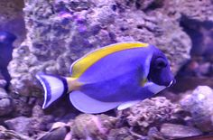 Powder Blue Tang. Not the most hardy fish but beautiful.