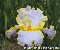 All About Spring | Tall Bearded Iris