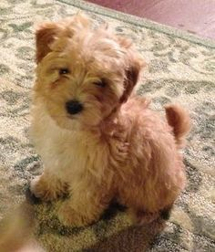 Yorkie Poodle Chihuahua Puppies Yorkie Poodle Cute Little
