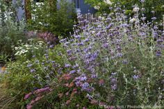 Salvia clevelandii (Cleveland sage) infront yard with California native plants, Heath-Delaney garden