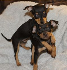 pinscher puppies - Pesquisa Google