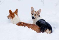funny playful corgis snow winter