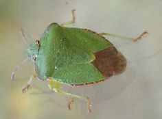 The Common Green Shield Bug | Ashwellthorpe and Fundenhall Communities