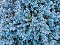 Juniper  is an evergreen conifer that has a wide range of varieties with different colors and growing habits. 'Blue Star', pictured, is a compact shrub with silvery-blue needles with a bushy habit, but other cultivars, like  'Blue Acres' , have a creeping, spreading habit.