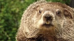Groundhog Day: Can Groundhogs Really Predict Spring? : Video : Animal Planet