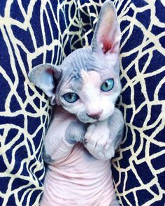 These Sphynx Babies Will Instantly Melt Your Heart - World's largest collection of cat memes and other animals Pretty Cats, Beautiful Cats, Animals Beautiful, Crazy Cats, I Love Cats, Cute Cats, Cute Hairless Cat, Chat Sphynx, Sphinx Cat