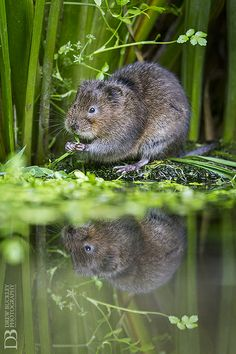 Cute Water Vole - England