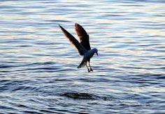 Bilderesultat for seagull dive for crab