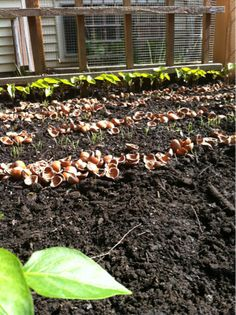 I use a thin row of crushed hazelnut shells between seedlings.  Makes for great long-term mulch.  The slugs hate them and the cats hate them even more.