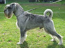 Standard schnauzer au naturel -uncropped and undocked.
