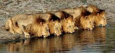 The Legendary Mapogo lions