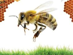 The Perfect Crime: What's Killing All the Bees? | Earthjustice   Poison flowerring plnts sold by Home Depot and Lowes.  Planted with the purpose of attracting bees, they are in fact, killing the very bees they are attracting.  Select your flowers carefully
