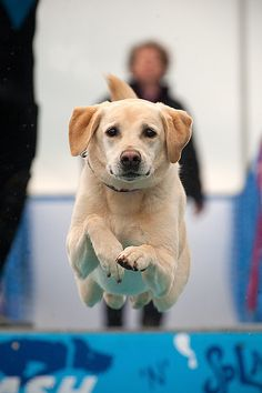 Lab jumping into a pool?  Love this pic