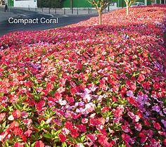 Cheap filler flowers for curb appeal, fast! 10-pc Sunshine Punch SunPatiens Collection