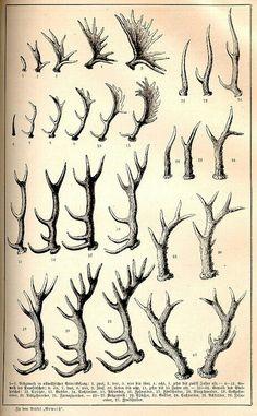 vintage zoological scientific illustration of deer, etc. racks / antlers