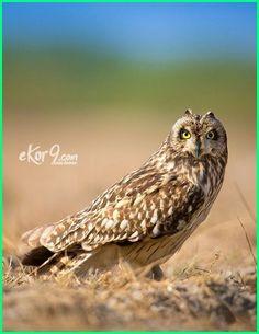 Download 67+  Gambar Burung Hantu Raksasa  Terbaru