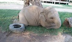Our chubby boy Navann loves to play with his toys, a tire, blue tub and blue ribbon, just like any child. We are impressed to see he is being a happiness young elephant, growing up with out fears and worries.