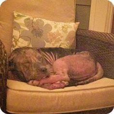 Dallas, GA - Pit Bull Terrier. Meet Lacey, a dog for adoption. http://www.adoptapet.com/pet/16289517-dallas-georgia-pit-bull-terrier