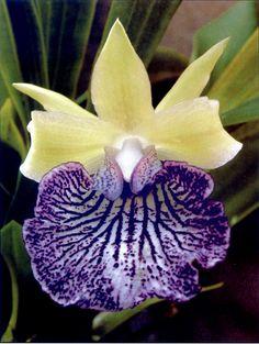 Warczewiczella timbiensis - Saiba mais sobre dicas de jardinagem em: www.asenhoradomonte.com