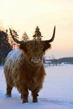 Hugh Highlander Highland Cow