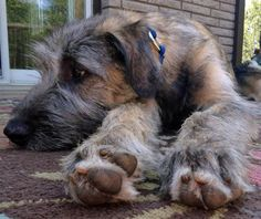 Arwyn the Irish Wolfhound Pictures 944607