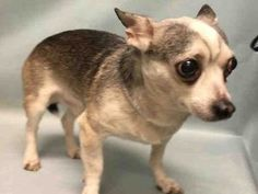 SUPER URGENT Manhattan Center ROCKO – A1101016 MALE, BLACK / GRAY, CHIHUAHUA SH MIX, 10 yrs OWNER SUR – ONHOLDHERE, HOLD FOR ID Reason DESTRUCTIV Intake condition GERIATRIC Intake Date 01/04/2017 http://nycdogs.urgentpodr.org/rocko-a1101016/