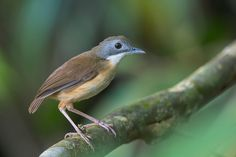 Short-tailed Babbler (Malacocincla malaccensis) is one of the resident ground babblers (Family Pellorneidae) in Thailand, Peninsula Malaysia including Singapore, Sumatra and Borneo. As the description implies, it tends to stay on the ground or perched very low in the undergrowth of the forest. In Singapore, is found in the Central Catchment Nature Reserve and Bukit Timah Nature Reserve, and its plaintive call is often part of the dawn chorus in these places.