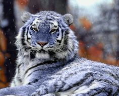 "The Maltese Tiger, or Blue Tiger. Most of the Maltese tigers reported have been of the South Chinese subspecies. The South Chinese tiger today is critically endangered, and the ""blue"" alleles may be wholly extinct. Rare Animals, Unique Animals, Animals And Pets, Wild Animals, Beautiful Cats, Animals Beautiful, Maltese Tiger, Big Cats, Cats And Kittens"