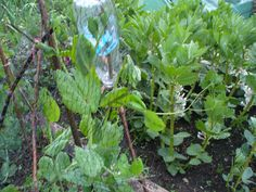 Peas and broad beans, May 2015