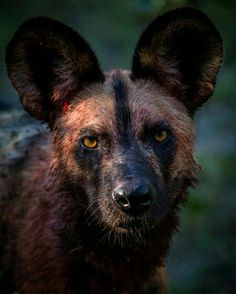 """Those ears! The endangered African Wild dog! One of my favorite top predators photographed together with and in…"" African Hunting Dog, African Wild Dog, Hunting Dogs, Rare Animals, Animals And Pets, Strange Animals, Wild Animals, Coyotes, In The Zoo"