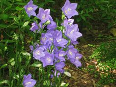 """from Kevin Lee Jacobs....love it!  To provide the garden with three seasons of beauty, I planted the sides of paths with shade-tolerant perennials. That's Campanula persicifolia 'Takion Blue' pictured above. This two-foot tall """"bell flower"""" puts on a big violet-blue show in late May; flowers appear on and off again until frost. I have it in a bed that is edged with the colorful Hosta 'Wide Brim.' This is a hosta that deer don't seem to like."""