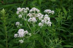 Boneset: a great flu remedy