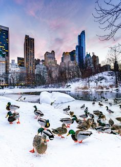 So many ducks in the Pond of the Central Park after the blizzard Jonas 2016 For prints, service and licensing, please visit www.zoran.photos https://www.picturedashboard.com