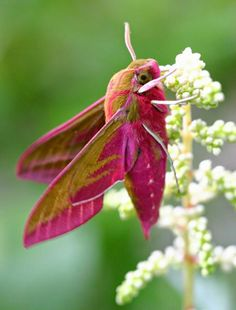 """""Elephant Hawk-moth by David Nicholls "" "" Flying Flowers, Butterfly Flowers, Flowers Nature, Beautiful Bugs, Beautiful Butterflies, Moth Caterpillar, Hawk Moth, Bugs And Insects, Chenille"
