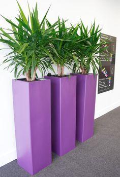 Yuccas in purple pots enhance school colours