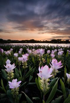 Suan Luang Rama IX Park, Bangkok, Thailand | Photographer: Chakrit Yau http://palmbook.deviantart.com/art/Siamese-Tulips-475027959