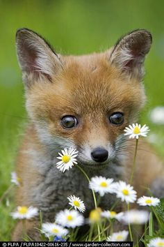European Red Fox (Vulpes vulpes) young cub, close-up of head, amongst daisy flowers, Normandy, France, spring.
