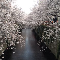 Cherry blossom at nakameguro in Tokyo,Japan