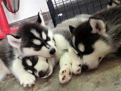 Weekend ZzZZzZz's! Alaskan Husky, Siberian Husky Puppies, Husky Puppy, Siberian Huskies, Alaskan Malamute, Baby Puppies, Cute Puppies, Cute Dogs, Dogs And Puppies