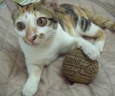 DIY eco friendly cardboard ball for cat, from http://www.instructables.com/id/DIY-eco-friendly-cardboard-ball-for-cat/