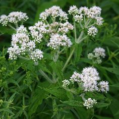 Boneset Seeds Minnesota Wild, Growing Flowers, Native Plants, Conservatory, Seeds, Bloom, Gardening, Green, Beauty