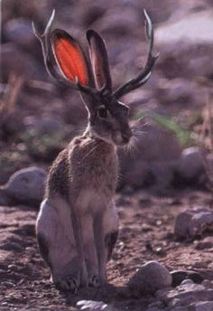 jack rabbit endangered | Jackalopes - The Mysterious Jaspers - looks like someone photoshopped this one!!!