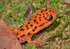 Eurycea lucifuga (Cave Salamander)