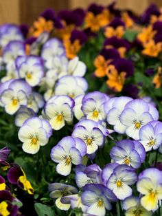 I love these. Plant them every year. Shade-Loving Annuals: Viola.   Like lobelia, violas are cool-season plants that can take full sun in early spring and fall, but they'll bloom a bit later into the summer if you grow them in the shade, especially in the South. Violas bear flowers in a dizzying range of shades including many wonderful bicolors such as the 'Sorbet Coconut Swirl' shown here.